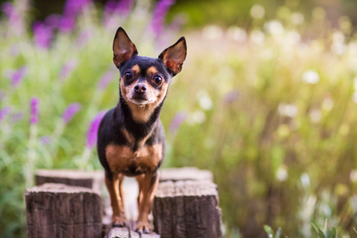 Small Dog Standing Atop Wooden Fence