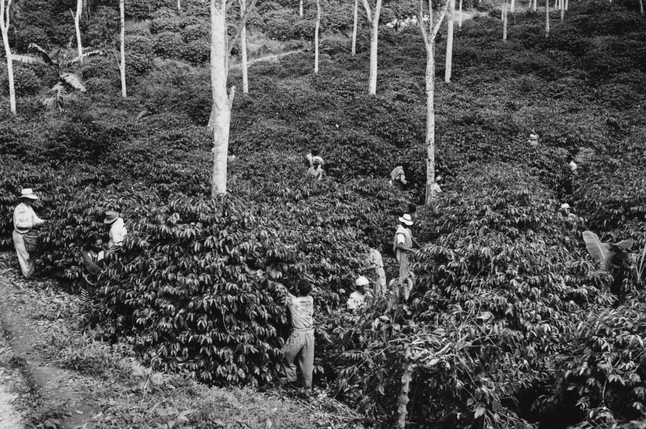 Cultivo de café en Colombia - pulzo.com