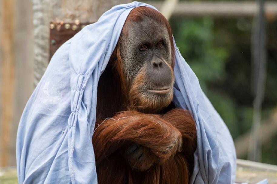 Orangután de Sumatra