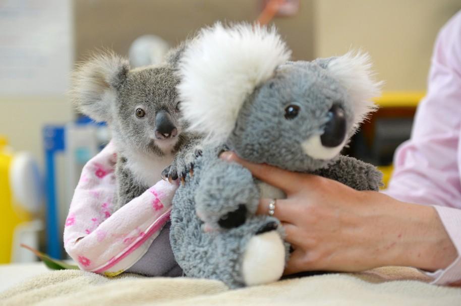 Shayne el koala