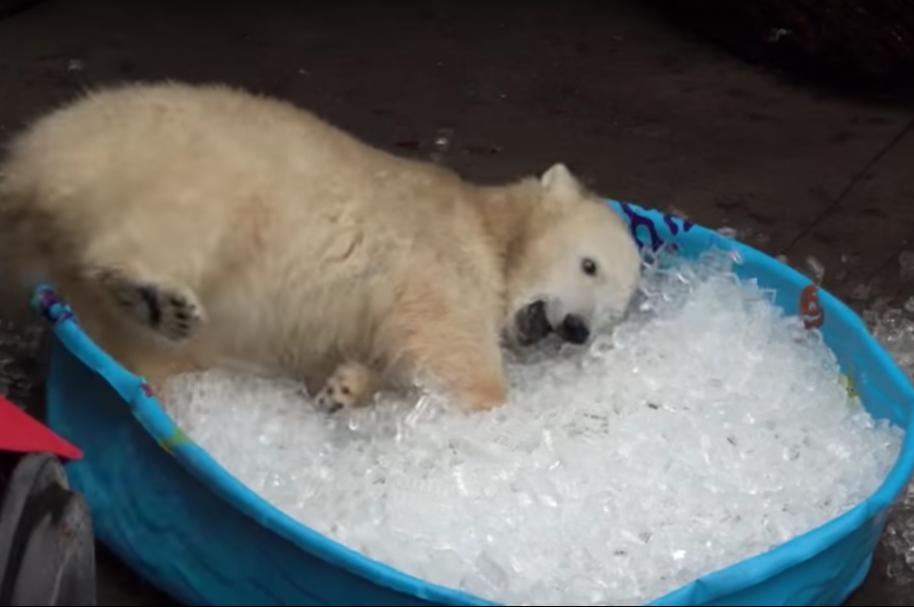 Oso polar en piscina con hielo. Pulzo.com