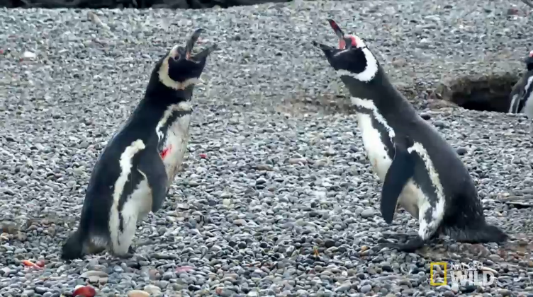 Sangrienta pelea entre pingüinos. Pulzo.com