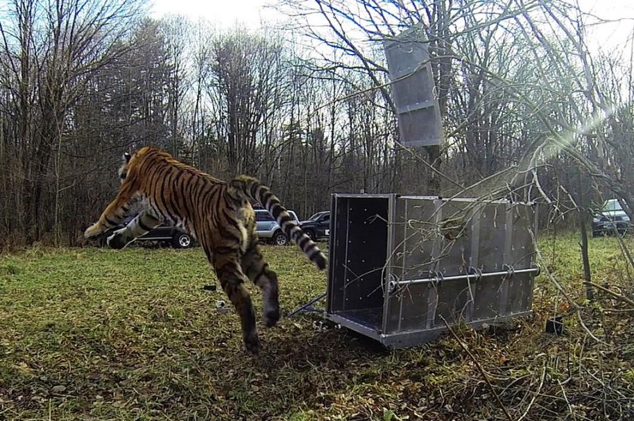Tigre en libertad.