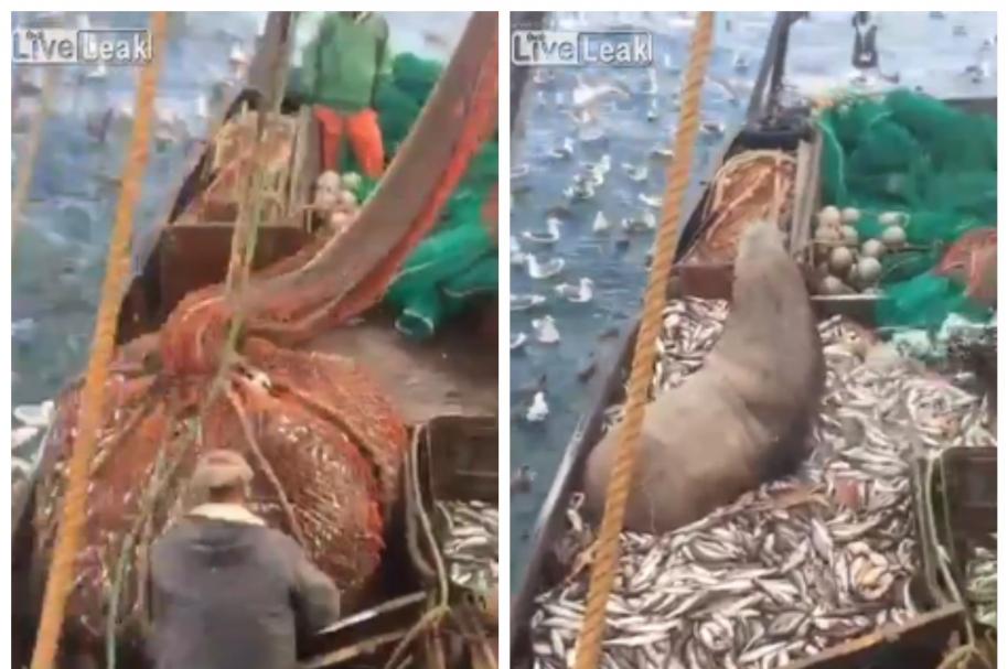 León marino fue pescado en Rusia. Pulzo.com