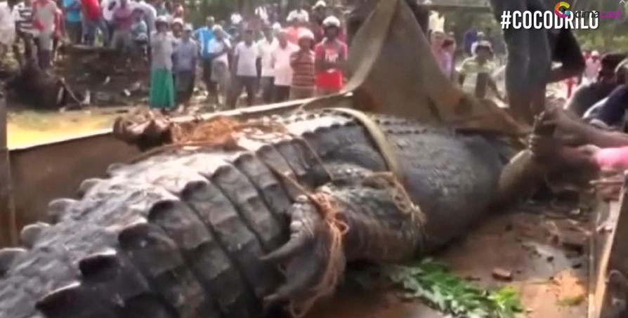 Gigantesco cocodrilo rescatado en Sri Lanka. Pulzo.com