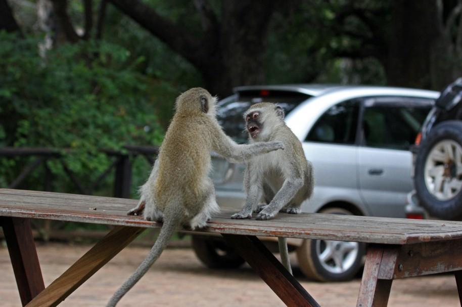 Un par de simios Chlorocebus pelean sobre una mesa en Livingstone, Zambia