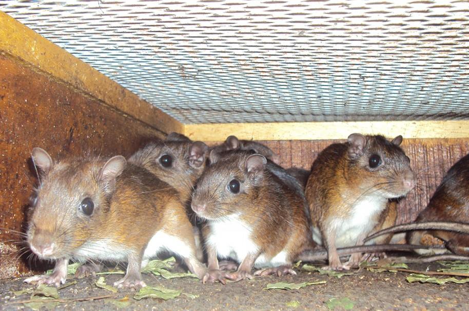 Roedores conocidos como ratón de campo