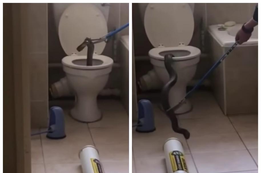 Cobra se 'coló' en inodoro de un apartamento, en Sudáfrica. Pulzo.com