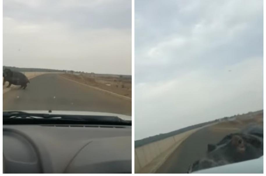 Hipopótamo atacó vehículo en el que iba un conductor, en Sudáfrica. Pulzo.com