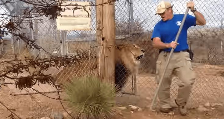 León sale de su encierro y asusta a su cuidador. Pulzo.com