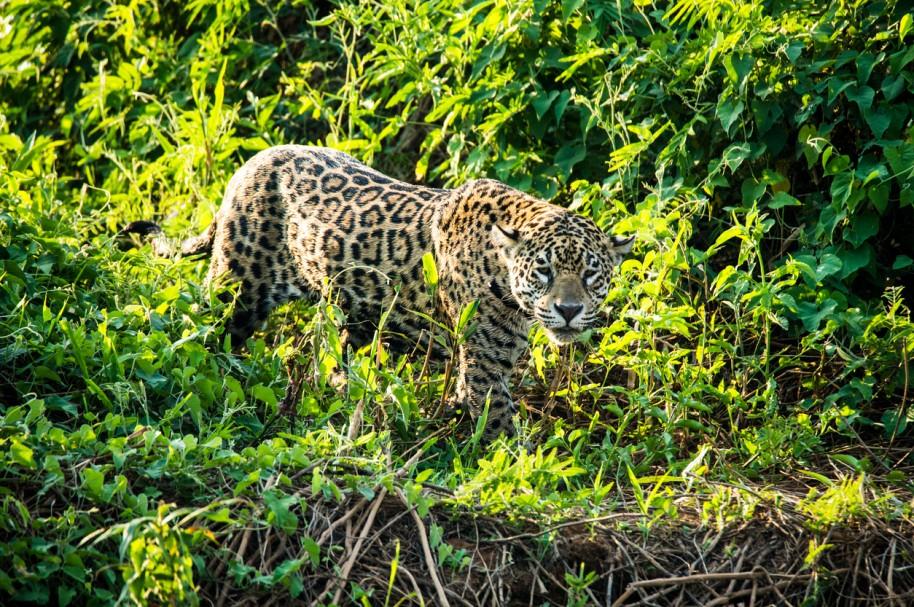 Un jaguar cazando en el bosque
