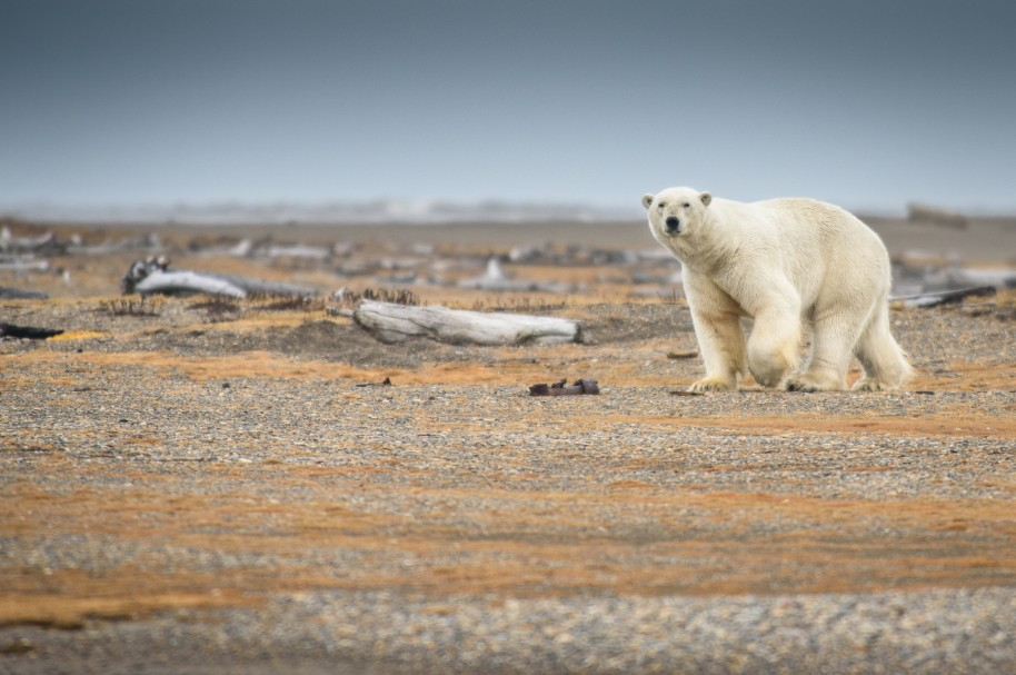 Un oso polar busca comida