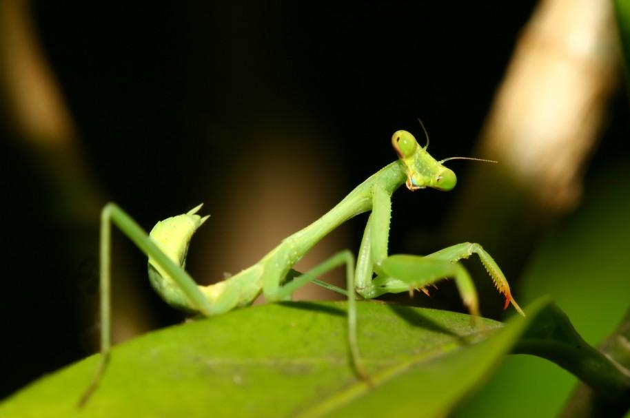 Mantis religiosa. Pulzo.com