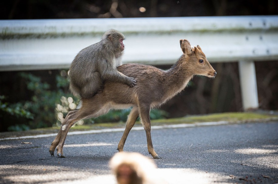 Macaco monta a ciervo hembra