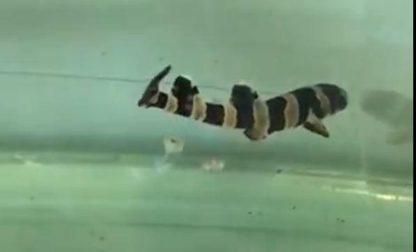 Tiburón bambú de Atlantis