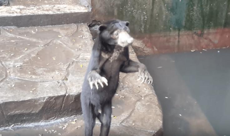Oso malayo en Zoológico de Bandung. Pulzo.com