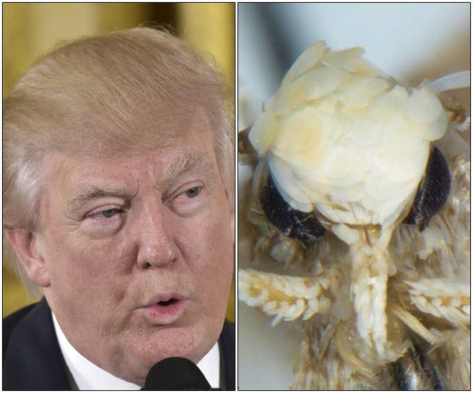 Donald Trump y polilla Neopalpa donaldtrumpi.