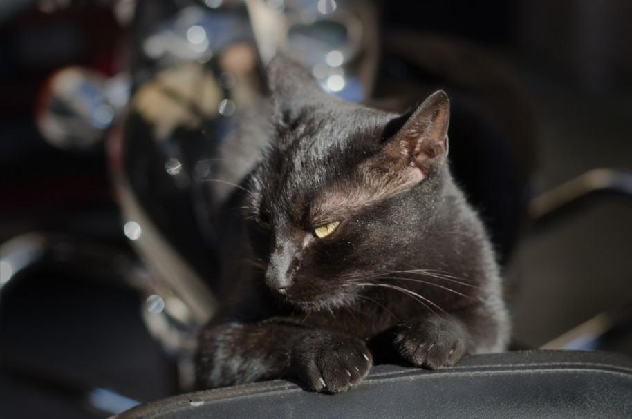 Gato negro. Pulzo.com