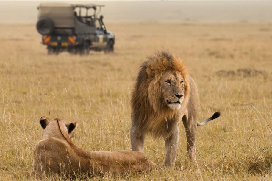 Leones en África. Pulzo.com.