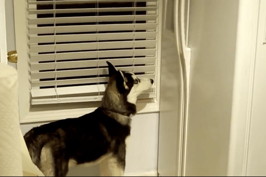 Husky siberiano saca hielo de refrigerador. Pulzo.com