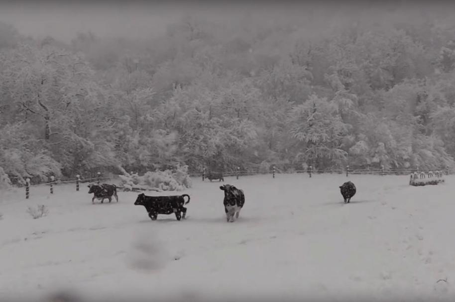 Vacas juegan en la nieve en Girona, España. Pulzo.com.