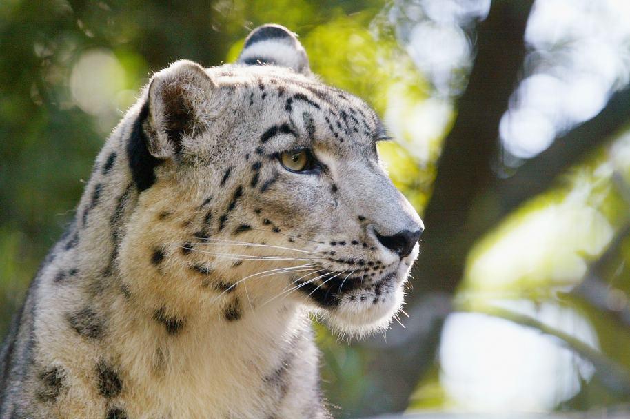 Leopardo de las nieves. Pulzo.com.