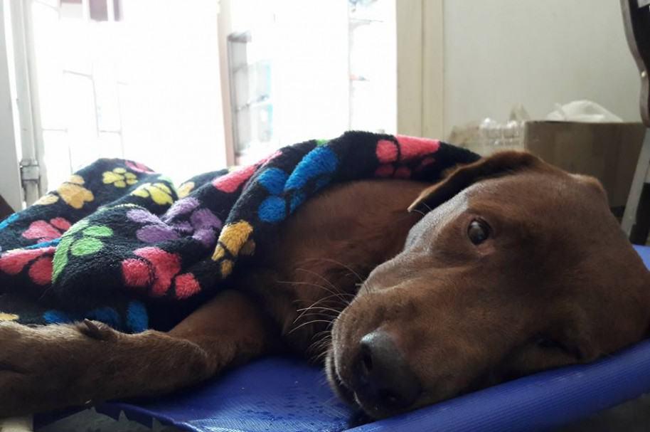 Perro castrado sin anestesia. Pulzo.com