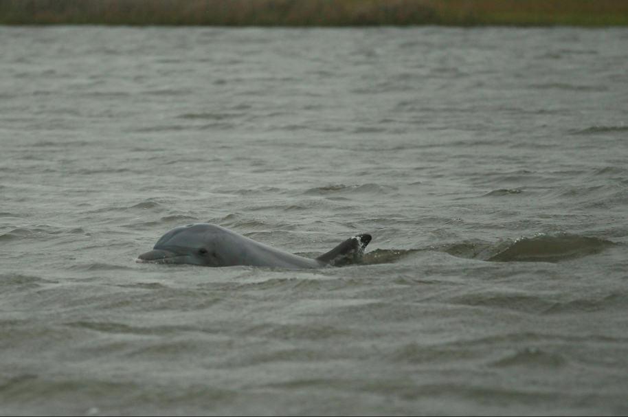 Delfín en el mar (imagen ilustrativa). Pulzo.com.