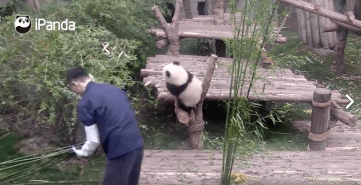 Panda bebé y su cuidador. Pulzo.com
