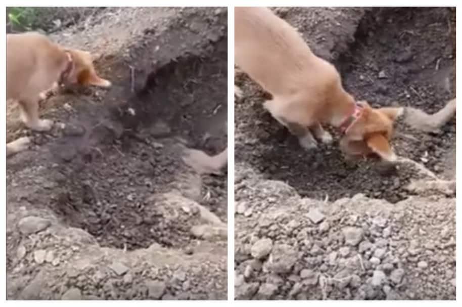Perro entierra a su amigo perro. Pulzo.com