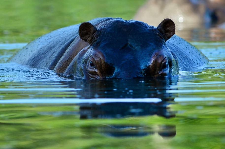 Dolor por muerte de hipopótamo