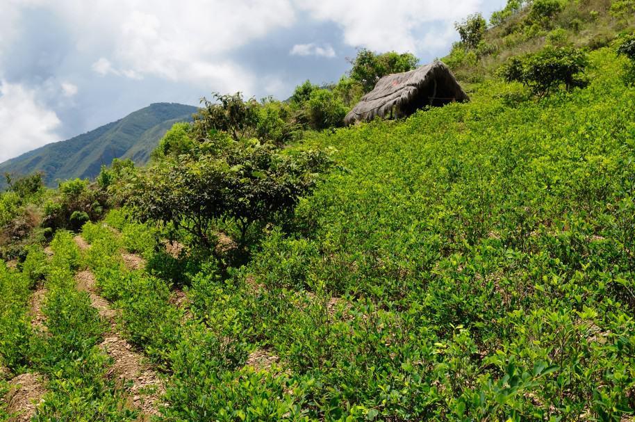 Cultivos de coca en la cordillera de Los Andes