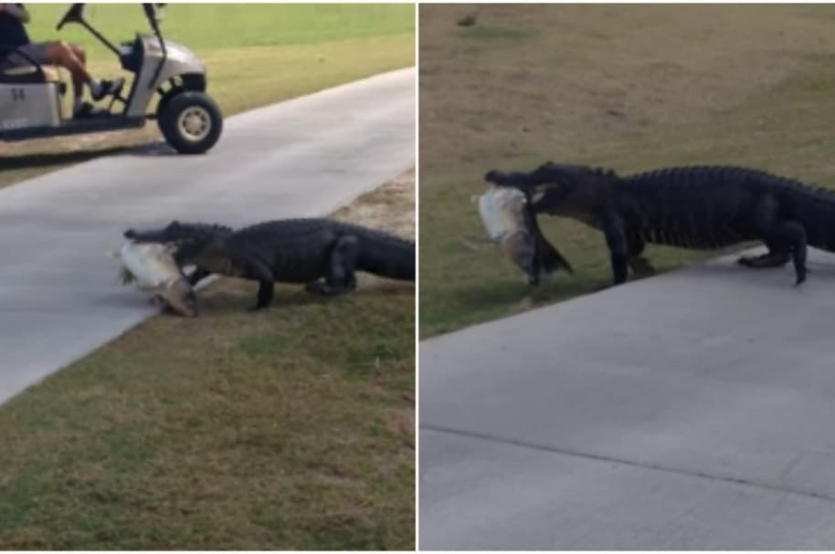 Caimán cruza un campo de golf.