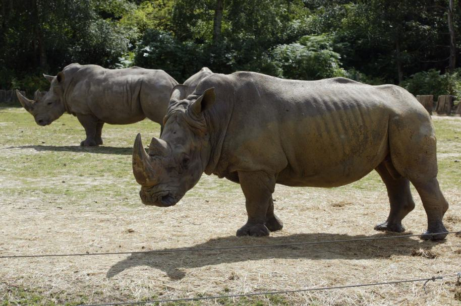 Murió rinoceronte Vince