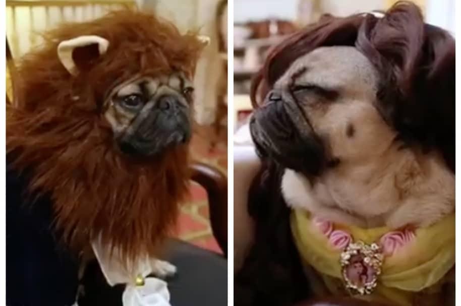 Doug the pug y otro perro disfrazados como Bella y Bestia. Pulzo.com