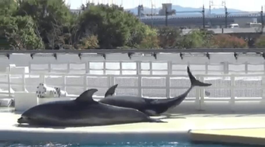 Delfines tratan de escapar de acuario