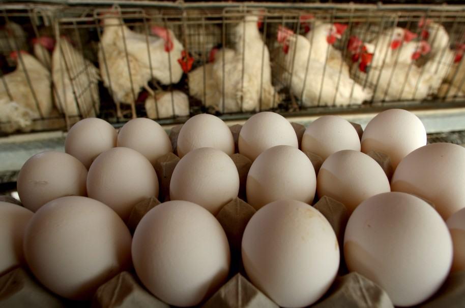 Huevos y gallinas