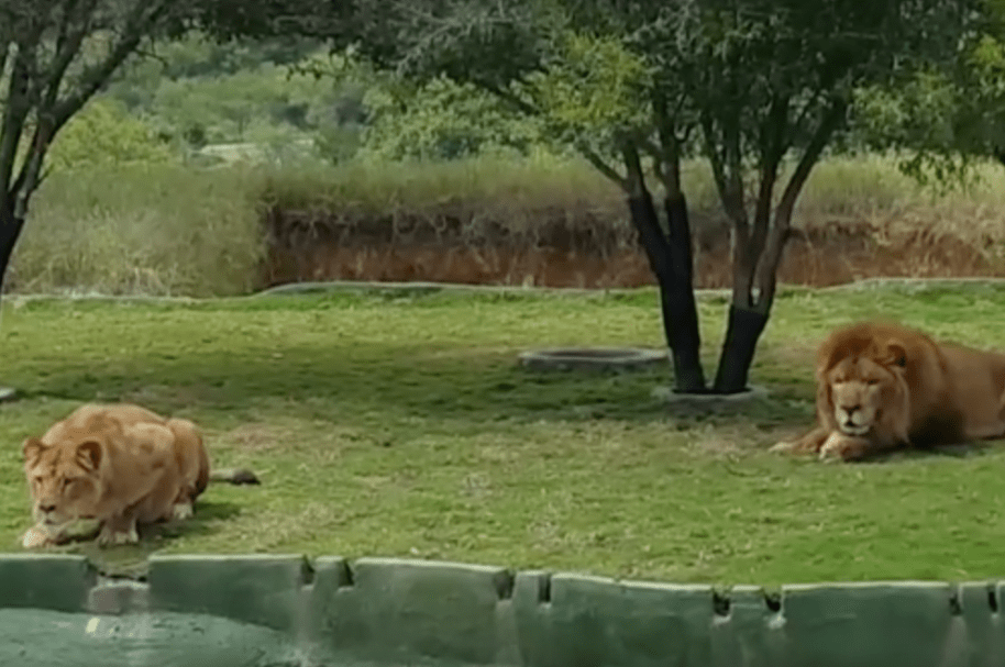 Leona en posición de ataque en zoológico mexicano. Pulzo.com