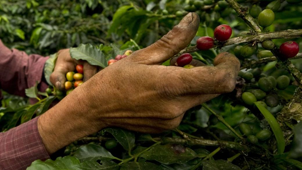 Relevo generacional en los campos de café - Pulzo.com