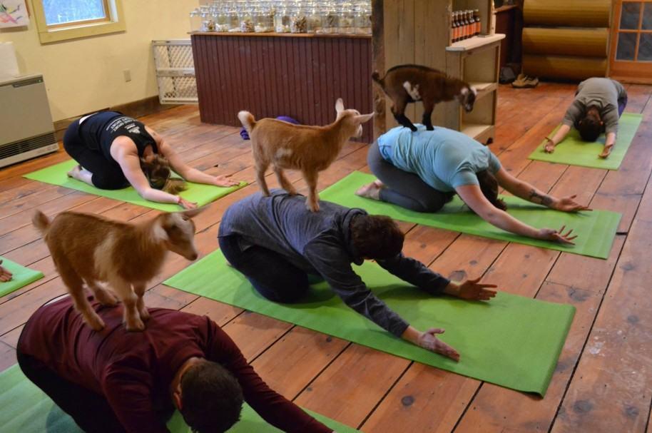 Clase de yoga con cabras en la granja Jenness Farm. Pulzo.com