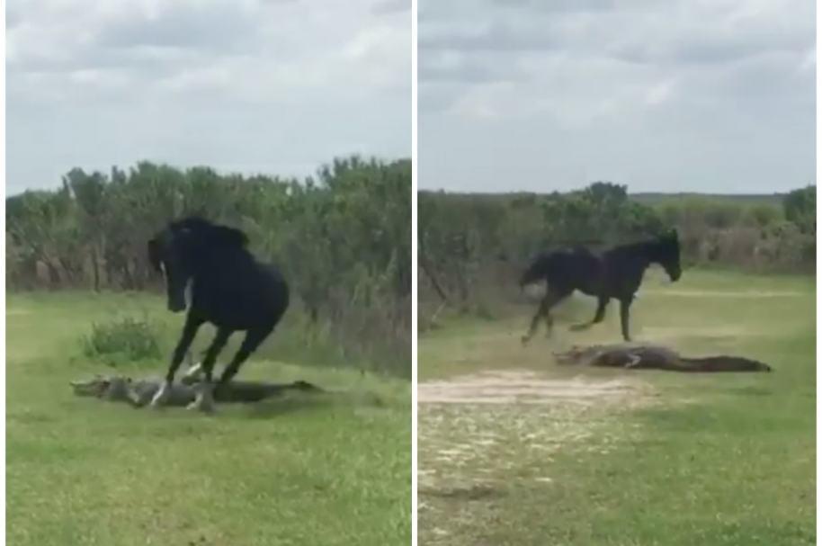Caballo ataca a cocodrilo.