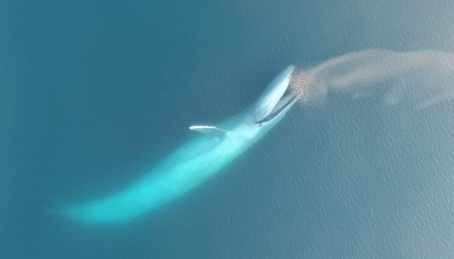 Ballena azul engullendo presas