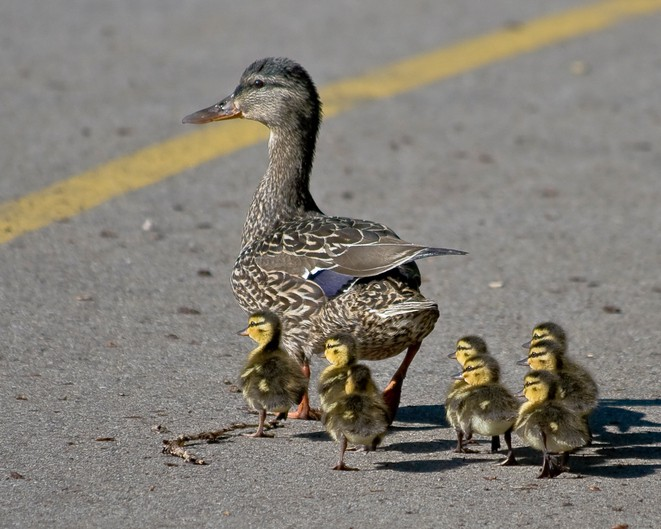 Pata y sus crías. Pulzo.com