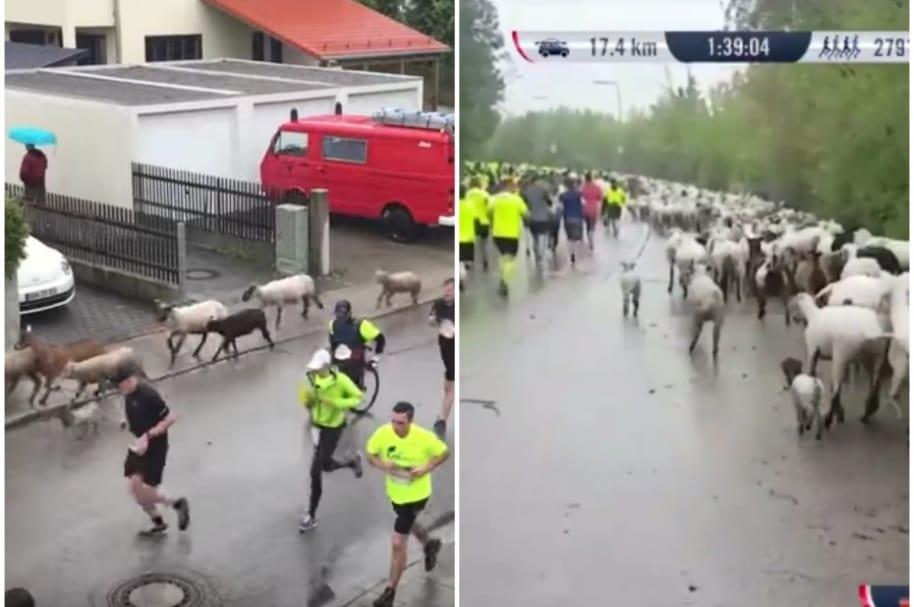 Cabras se cuelan en carrera.