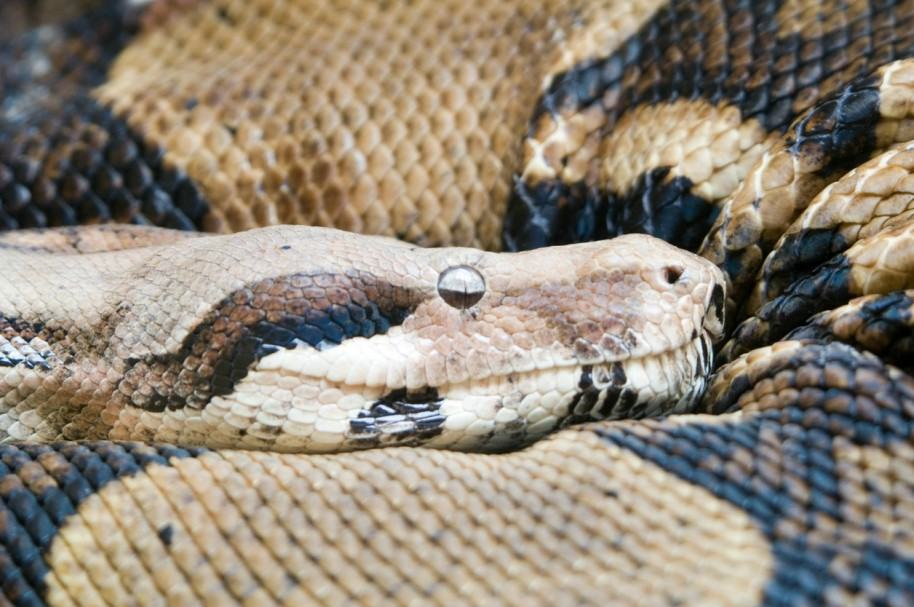 Serpiente pitón. Pulzo.com