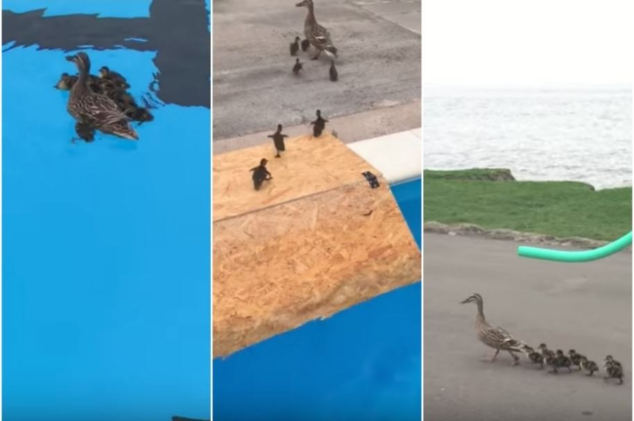 Patos rescatados de piscina.