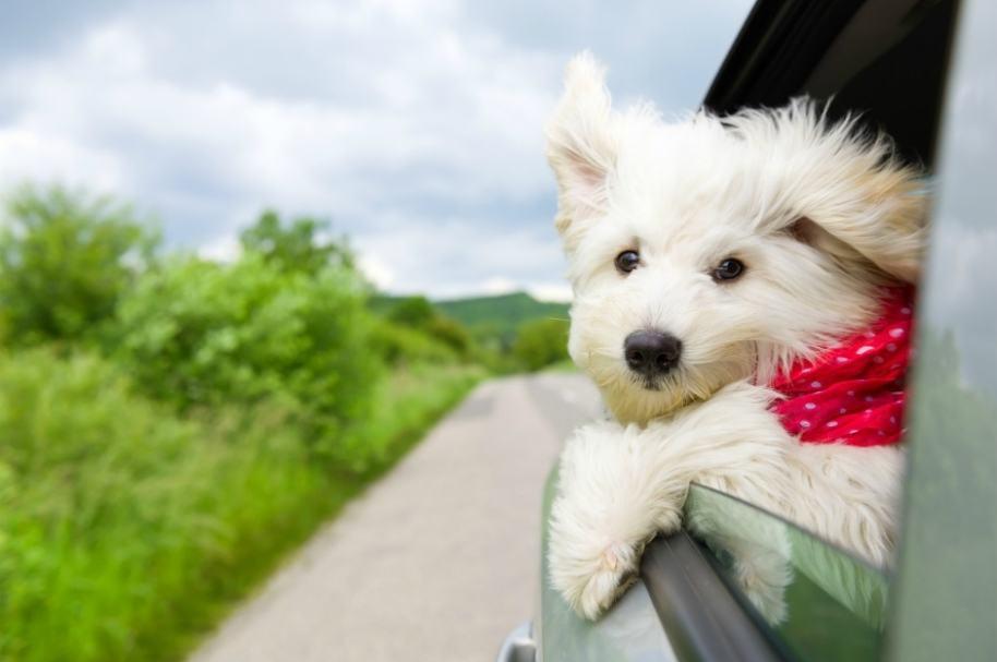 Perro saca la cabeza por ventana de carro.