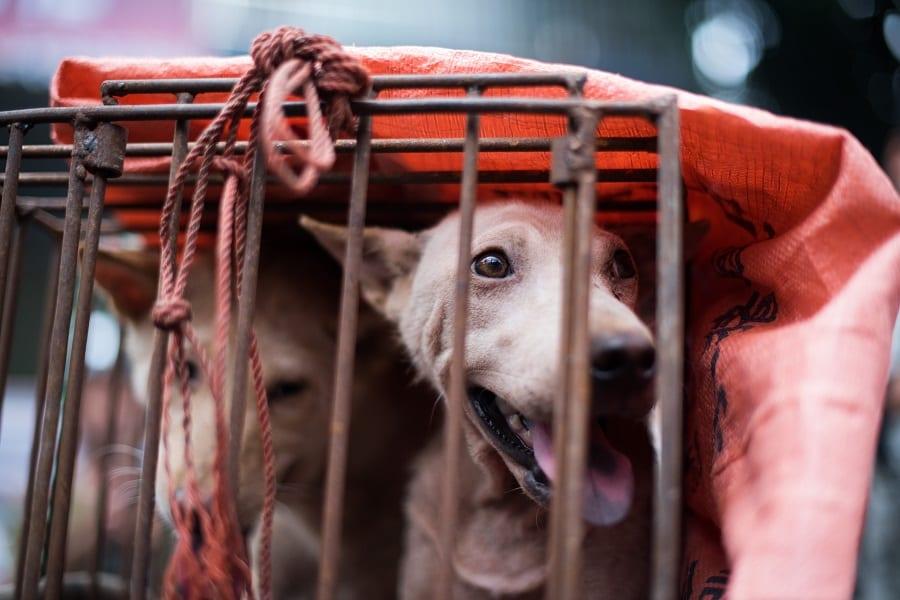 Perros para sacrificar en Yulin