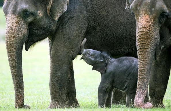Manada de elefantes. Pulzo.com