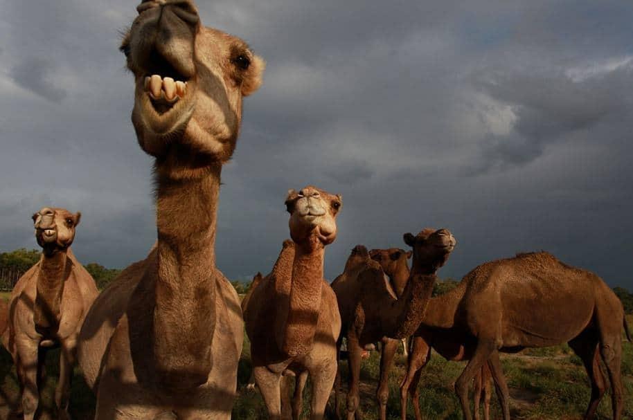 Camellos.